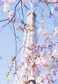超唯美的qq个性透明皮肤樱花系列 少女心樱花系列个性皮肤