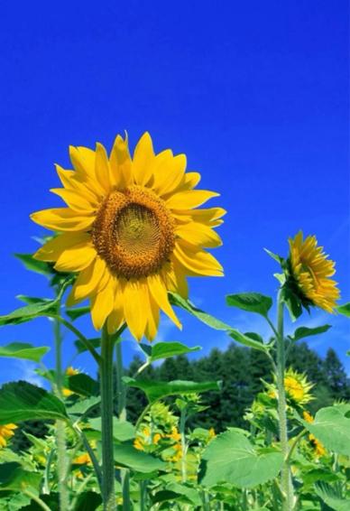 向日葵手机壁纸图片高清简约 风景图片大全高清向日葵