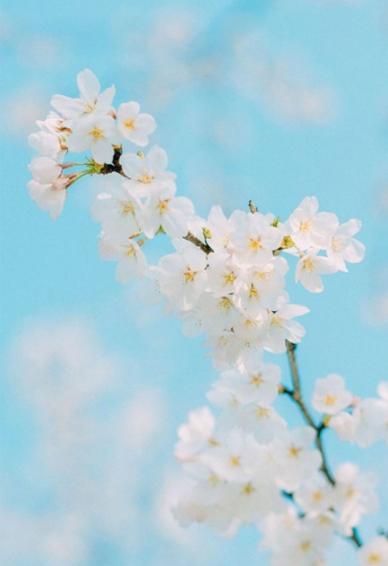 唯美好看的樱花手机壁纸高清无水印 武大樱花壁纸图片大全有意境