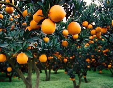 秋季摘橘子的发朋友圈的说说大全-云奇网