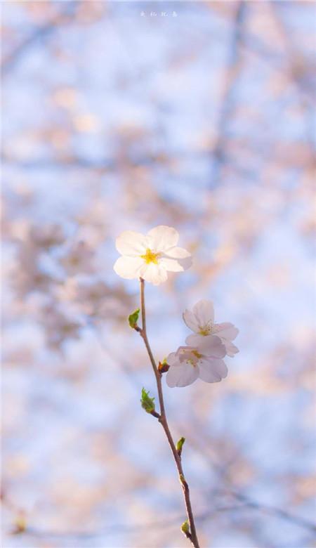 春天唯美粉色桃花手机壁纸图片_一组桃花意境图片素材