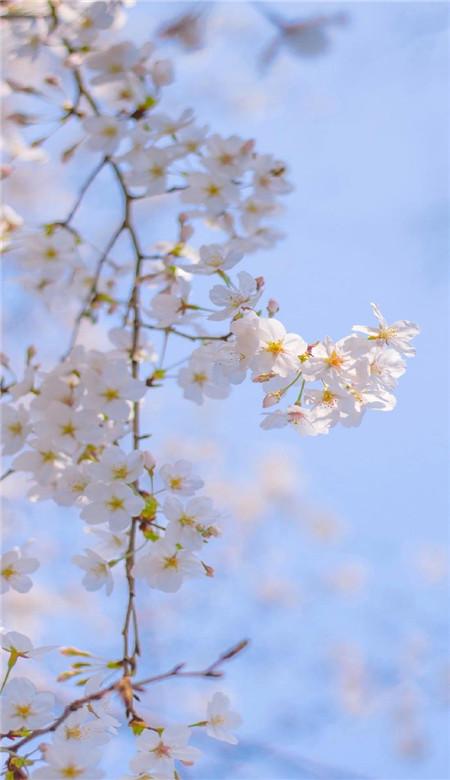 春天唯美粉色桃花手机壁纸图片_一组桃花意境图片素材-豪情云天 - 豪情云天网