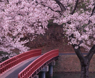 春天观赏樱花的心情说说大全-云奇网