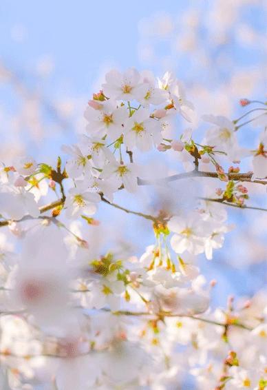 春天唯美有活力的桃花手机壁纸 春天每天都能拥有好心情