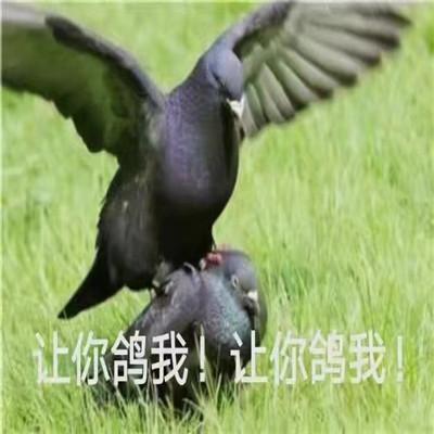 抖音热门鸽鸽系列实用表情包大全 放鸽子必备的表情合集