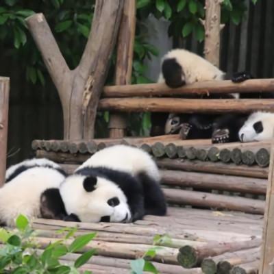 2021最新版微信很可爱的熊猫头像 很有个性的微信头像大全