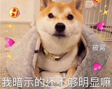 精选小柴犬的可爱聊天表情包 是我暗示的还不够明显吗