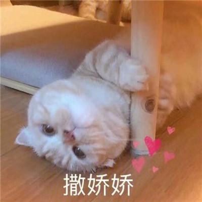 炒鸡甜的猫咪撒娇表情包合集 很撩人的撒娇表情合集